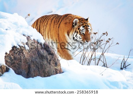 Tiger in the snow in the winter - stock photo