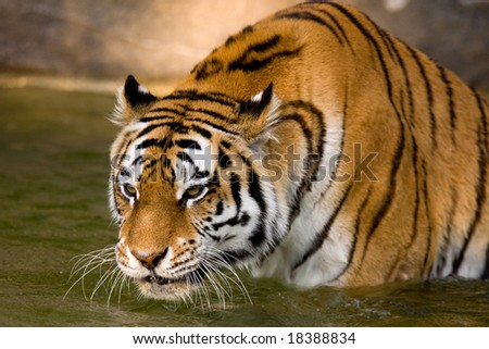 Tiger in the water. - stock photo