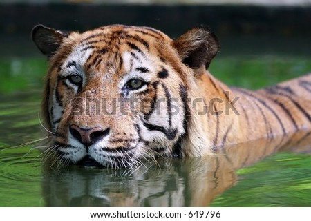 Tiger in the water - stock photo