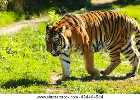 Tiger in the wild - stock photo