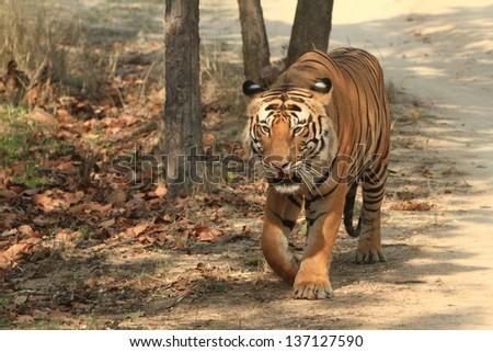 Tiger in the Wildlife in India - stock photo