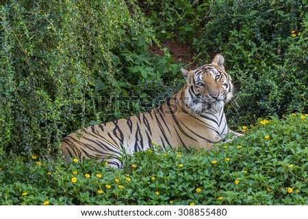tiger in the zoo - stock photo