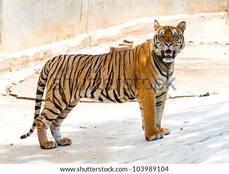 tiger in Wat Pa Luang Ta Bua Yannasampanno, Kanchanaburi Thailand. - stock photo