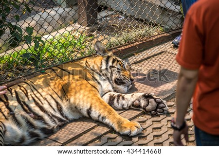 Tiger inside a cage in Thailand