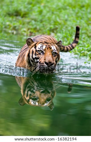 Tiger into water