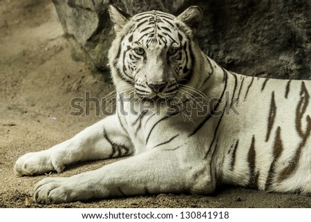 Tiger is a white to brown to black. - stock photo