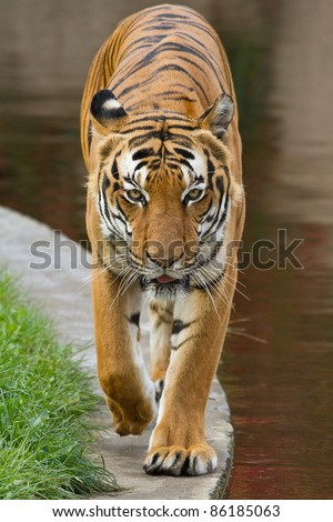 tiger is coming - stock photo