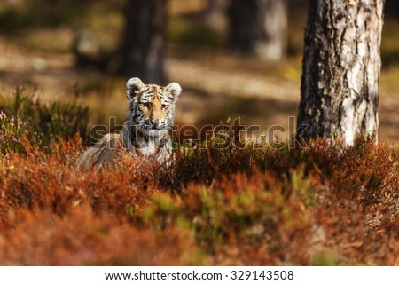 tiger is hiding - stock photo
