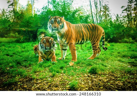 Tiger is largest cat species, reaching total body length of up to 3.38 m over curves and weighing up to 388.7 kg in wild. - stock photo