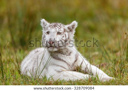 tiger is resting in the grass