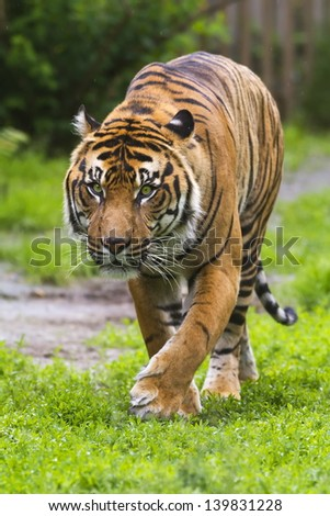 tiger is slowly creeps - stock photo