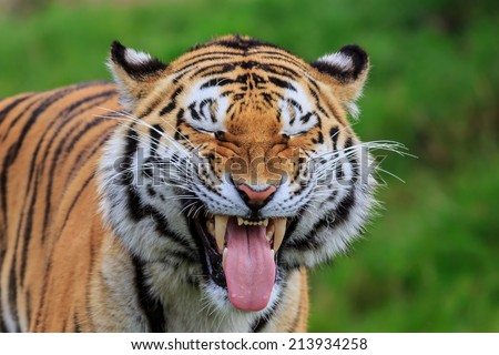 tiger is sticking out his tongue at us - stock photo