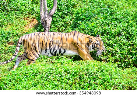 Tiger is to study and visit. The zoo is located in Thailand. - stock photo