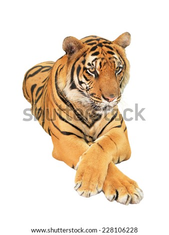 Tiger isolated - stock photo
