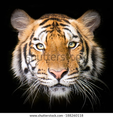 Tiger isolated on black background - stock photo
