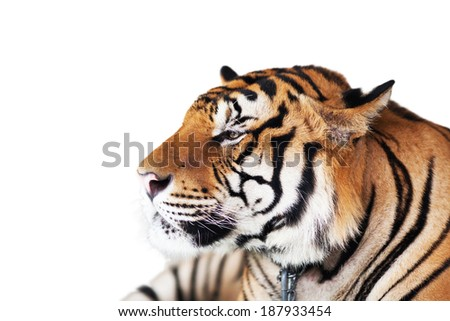 Tiger Isolated on white background - stock photo