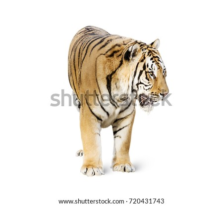 stock-photo-tiger-isolated-on-white-back