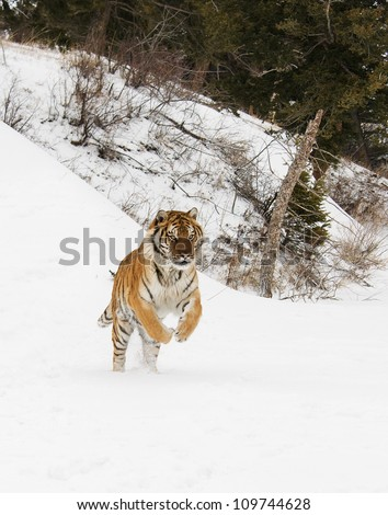 Tiger jumping in snow - stock photo