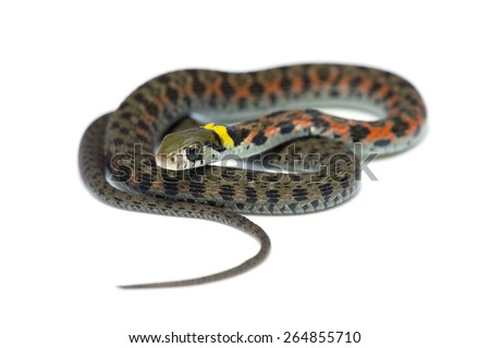Tiger Keelback-Rhabdophis tigrinus, on white background.