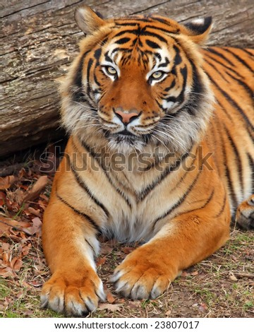 Tiger laying down - stock photo