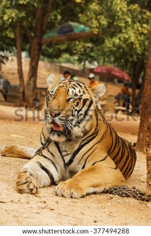 Tiger laying on the ground tired lazy wildcat rest  - stock photo