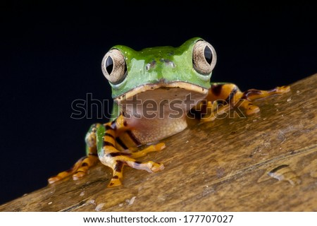 Tiger legged monky frog / Phyllomedusa tomopterna