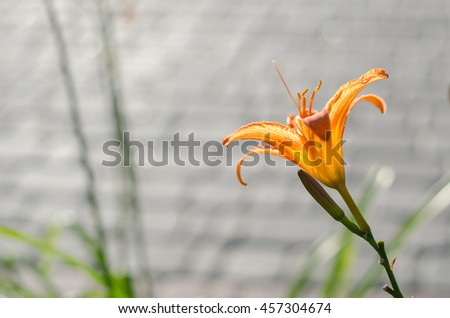 Tiger lilies in summer in the city, urban background - stock photo