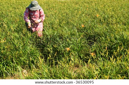 Tiger lily farmer working in the farm.