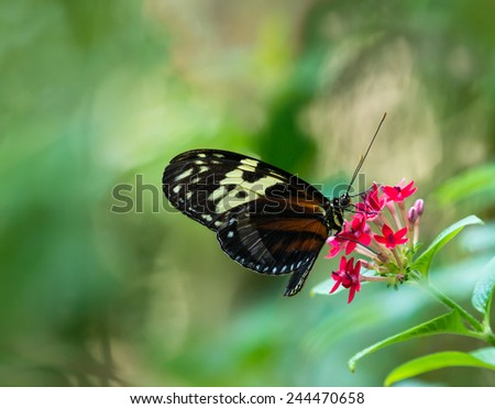 Tiger Longwing butterfly (Heliconius hecale) feeding on red star flowers. Natural green background. - stock photo