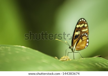 Tiger Longwing butterfly (Heliconius hecale zuleika) feeding while sitting on a leaf. - stock photo