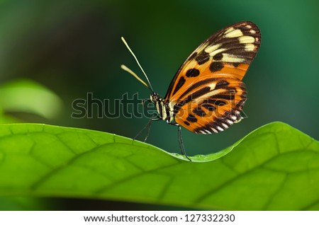 Tiger Longwing butterfly (Heliconius ismenius) perched on a leaf. Natural green background with copy space. - stock photo