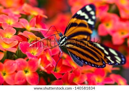 Tiger Longwing (Heliconius ismenius) - stock photo