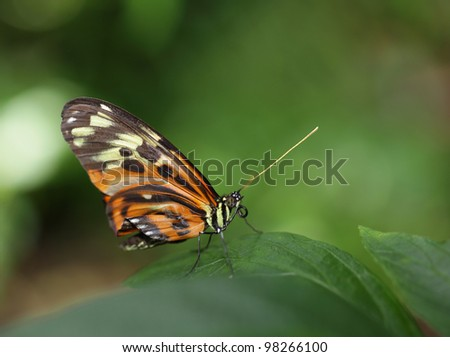 Tiger Longwing  heliconius ismenius Butterfly - stock photo