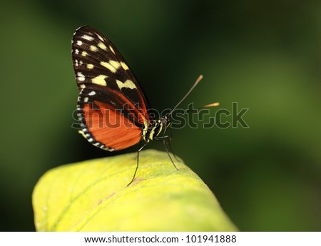 Tiger longwing tropical butterfly - stock photo