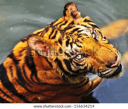 Tiger looking  - stock photo