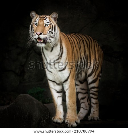 Tiger looking for prey - stock photo