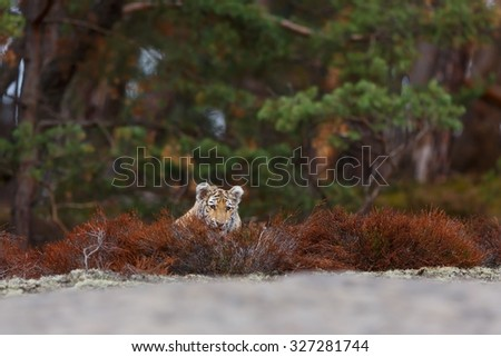 tiger looking over low vegetation - stock photo
