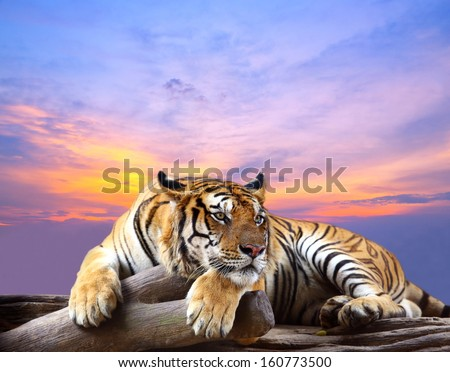 Tiger looking something on the rock with beautiful sky at sunset time - stock photo