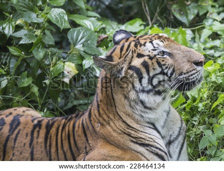 Tiger looking to the side with green foliage as background  - stock photo