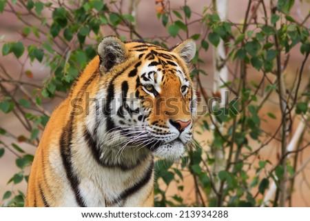 Tiger looks around - stock photo