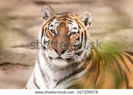 Tiger lying and rest in jungle - stock photo