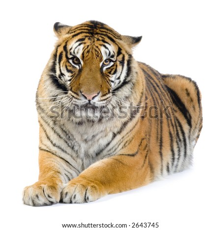 Tiger lying down in front of a white background. All my pictures are taken in a photo studio