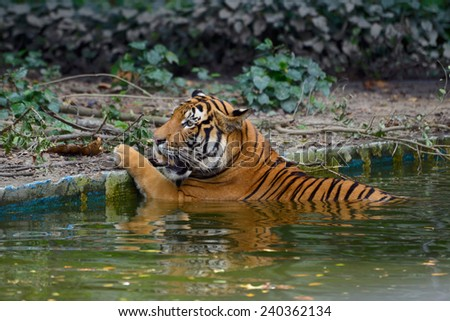 Tiger lying in a ditch with water