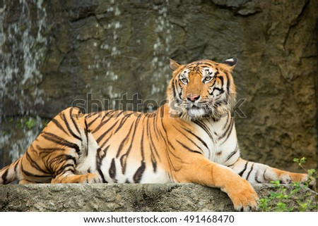 Tiger lying on a rock waterfall.