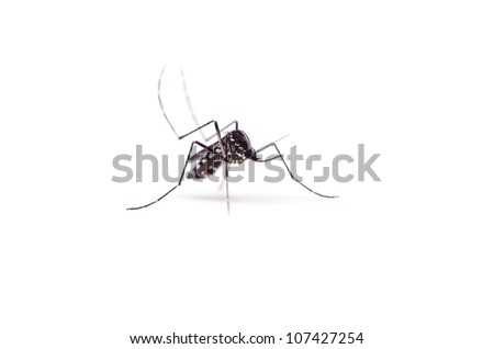 tiger mosquito - stock photo