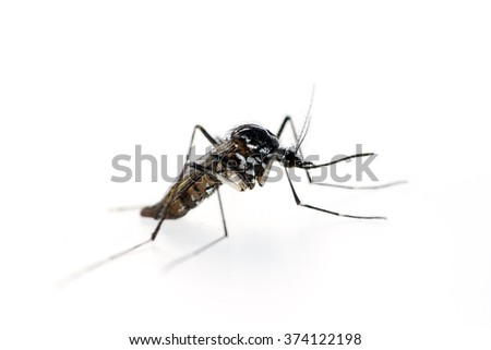 Tiger mosquito, Aedes albopictus.  Can be vector for Zika virus etc. On white. - stock photo