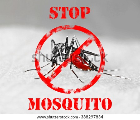 Tiger mosquito (Aedes albopictus) full of blood, a species that can spread diseases  - stock photo