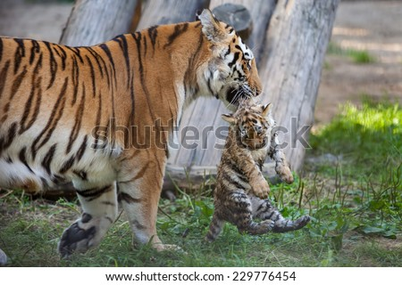 Tiger mother carrying her cub in mouth - stock photo