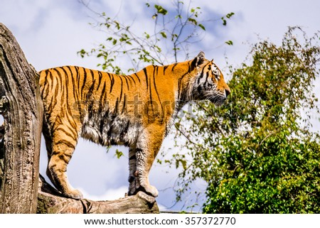 Tiger on guard