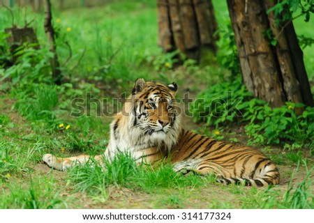 tiger on the green grass - stock photo